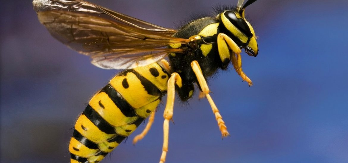 Top 7 Amazing Home Remedies for Yellow Jacket Stings