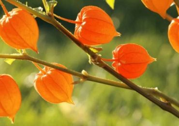 The Amazing Benefits of Ashwagandha